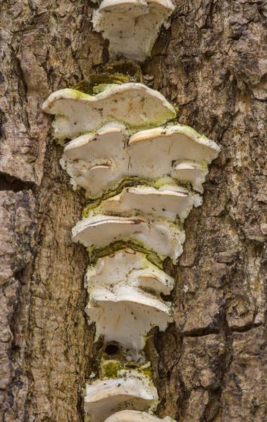 Mossy maple polypore mushrooms (Oxyporus populinus) on a tree in Lesnoy Park. Saint Petersburg, Russia, March 9, 2017