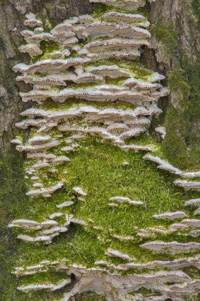 Cluster of mossy maple polypore mushrooms (Oxyporus populinus) in Lesnoy Park Saint Petersburg, Russia, March 9, 2017