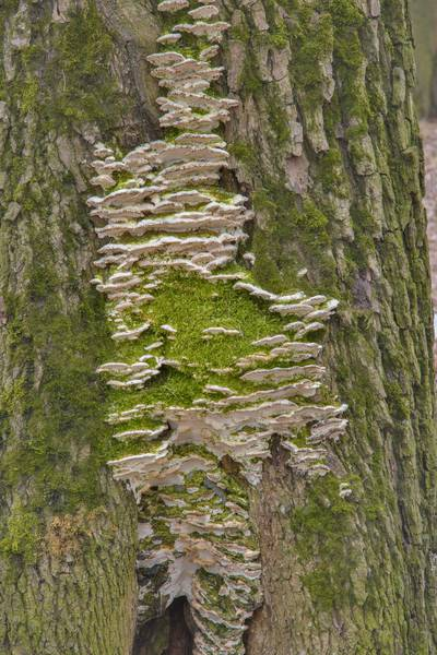 Greenish mossy maple polypore mushrooms (Oxyporus populinus) in Lesnoy Park Saint Petersburg, Russia, March 9, 2017