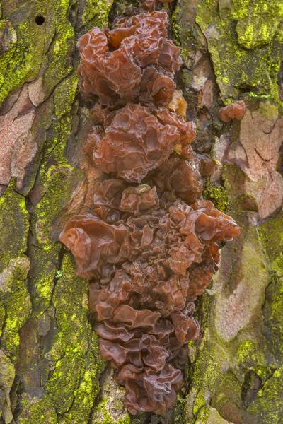 "Drying brown witch's butter mushroom (jelly fungus, <B>Exidia saccharina</B>) on a pine in Sosnovka Park. Saint Petersburg, Russia, <A HREF=""../date-ru/2017-03-15.htm"">March 15, 2017</A>"