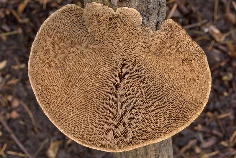 "Gills of thin-walled maze polypore mushroom (Blushing Bracket, <B>Daedaleopsis confragosa</B>) on a dry branch of hazelnut in Botanic Gardens of Komarov Botanical Institute. Saint Petersburg, Russia, <A HREF=""../date-en/2017-03-17.htm"">March 17, 2017</A>"