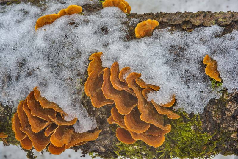 "Yellowing curtain crust mushrooms (<B>Stereum subtomentosum</B>) on a fallen log in Orekhovo, 40 miles north from Saint Petersburg. Russia, <A HREF=""../date-ru/2017-03-18.htm"">March 18, 2017</A>"