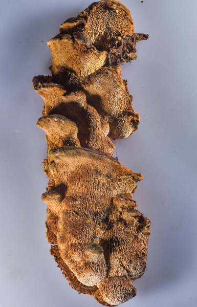 Poroid crust fungus Xanthoporia radiata (Mensularia radiata) taken from a hazelnut branch in Orekhovo, 40 miles north from Saint Petersburg. Russia, March 18, 2017