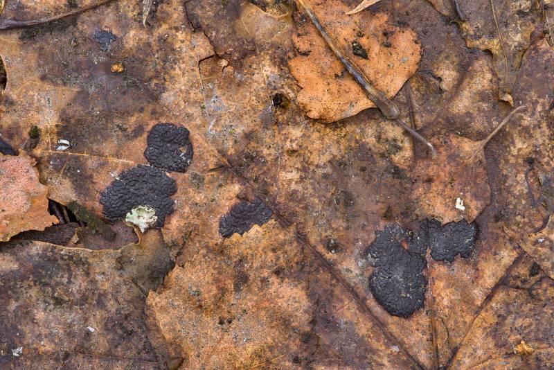 "Tar rot fungus (<B>Rhytisma acerinum</B>) on fallen maple leaves in Sosnovka Park. Saint Petersburg, Russia, <A HREF=""../date-ru/2017-03-23.htm"">March 23, 2017</A>"