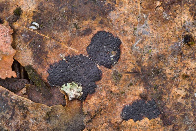 "Tar rot fungus (<B>Rhytisma acerinum</B>) on last year maple leaves in Sosnovka Park. Saint Petersburg, Russia, <A HREF=""../date-ru/2017-03-23.htm"">March 23, 2017</A>"