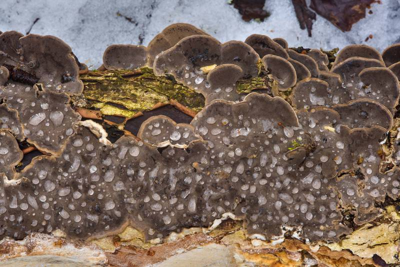 "Smoky polypore mushrooms (smoky bracket, <B>Bjerkandera adusta</B>) with water drops on a fallen willow in area of an old brick factory between Pesochnaya and Dibuny north-west from Saint Petersburg. Russia, <A HREF=""../date-ru/2017-03-26.htm"">March 26, 2017</A>"