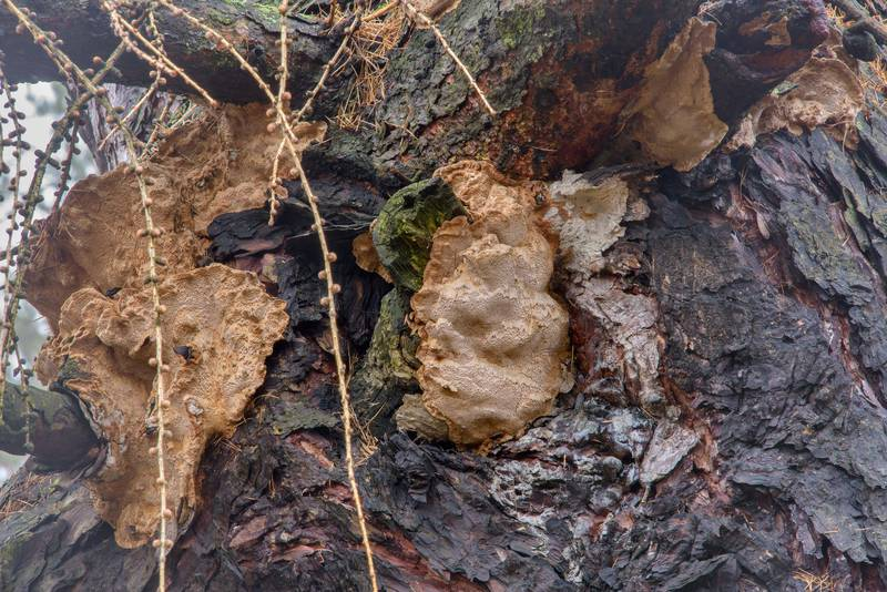 "Polypore mushrooms <B>Porodaedalea laricis</B> on a trunk of European larch tree (Larix decidua var. pendulina) in Botanic Gardens of Komarov Botanical Institute. Saint Petersburg, Russia, <A HREF=""../date-en/2017-04-02.htm"">April 2, 2017</A>"