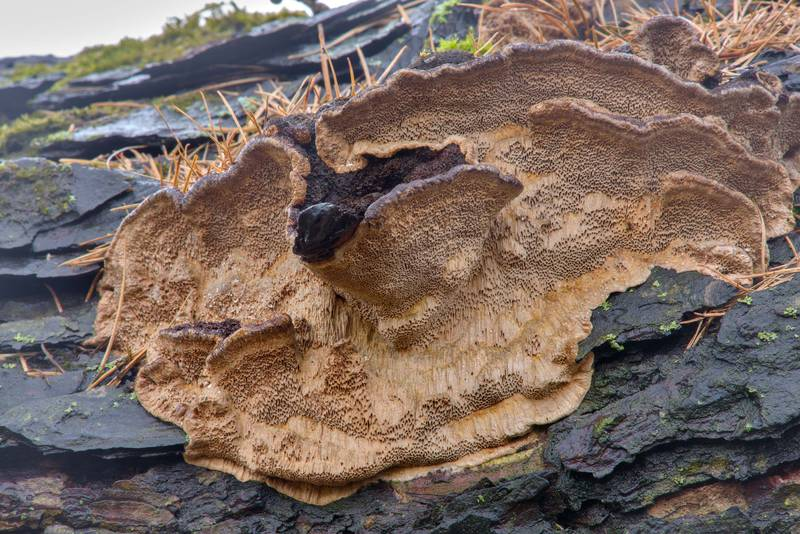 "Fruit body of polypore mushroom <B>Porodaedalea laricis</B> on European larch tree (Larix decidua var. pendulina) in Botanic Gardens of Komarov Botanical Institute. Saint Petersburg, Russia, <A HREF=""../date-en/2017-04-02.htm"">April 2, 2017</A>"