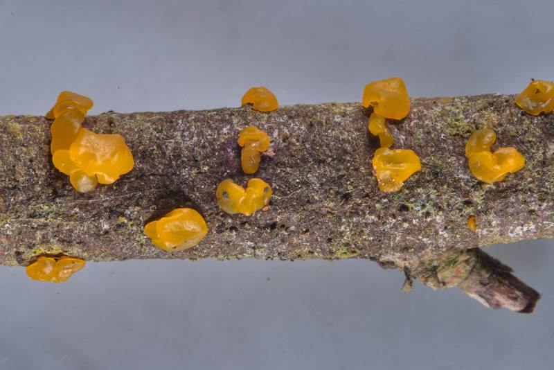 "Jelly mushrooms <B>Dacrymyces lacrymalis</B> on a twig found between Pesochnaya and Dibuny north-west from Saint Petersburg. Russia, <A HREF=""../date-ru/2017-04-03.htm"">April 3, 2017</A>"