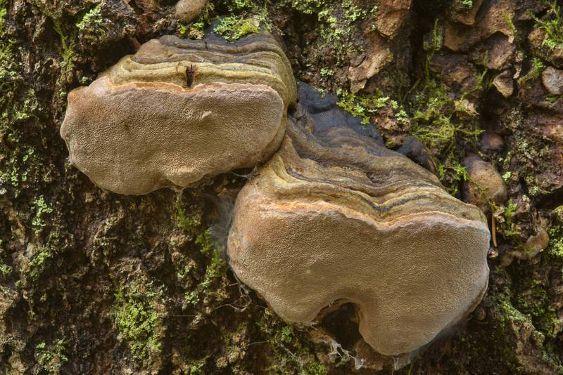 "False Tinder Conk mushrooms (<B>Phellinus tremulae</B>, aspen polypore fungus) near Kavgolovskoe Lake south from Oselki, 8 miles north from Saint Petersburg. Russia, <A HREF=""../date-ru/2017-04-05.htm"">April 5, 2017</A>"