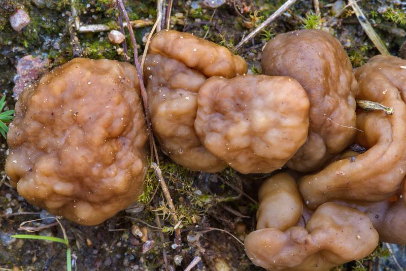 "Snow morel mushrooms (<B>Gyromitra gigas</B>) in sand on a forest logging site near Hallojarvi (Gorynskoe) Lake near Lembolovo, 40 miles north from Saint Petersburg. Russia, <A HREF=""../date-en/2017-04-27.htm"">April 27, 2017</A>"