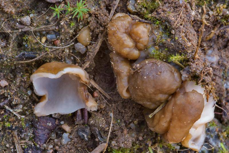 "Several small snow morel mushrooms (<B>Gyromitra gigas</B>) in sand on a forest logging site near Hallojarvi (Gorynskoe) Lake near Lembolovo, 40 miles north from Saint Petersburg. Russia, <A HREF=""../date-en/2017-04-27.htm"">April 27, 2017</A>"