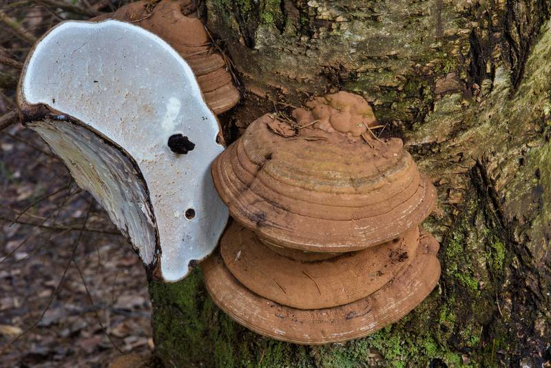 Artist's conk mushrooms (Ganoderma applanatum) on a birch in spruce forest near Lembolovo, 40 miles north from Saint Petersburg. Russia, April 27, 2017