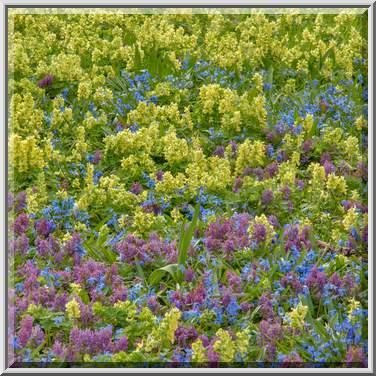 Photo 2033 01 Fumewort Corydalis In Botanic Gardens Of Institute St Petersburg Russia