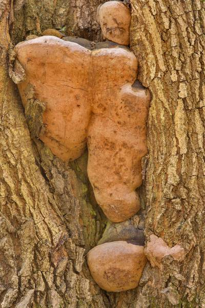 "Robust bracket tinder mushrooms (<B>Fomitiporia robusta</B>) on an oak in Dubki Park. Sestroretsk, west from Saint Petersburg, Russia, <A HREF=""../date-ru/2017-05-12.htm"">May 12, 2017</A>"