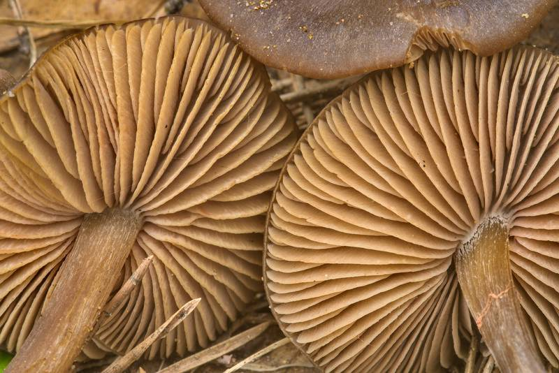 "Gills of early spring pinkgill mushrooms <B>Entoloma vernum</B> in Dibuny, near Saint Petersburg. Russia, <A HREF=""../date-ru/2017-05-18.htm"">May 18, 2017</A>"