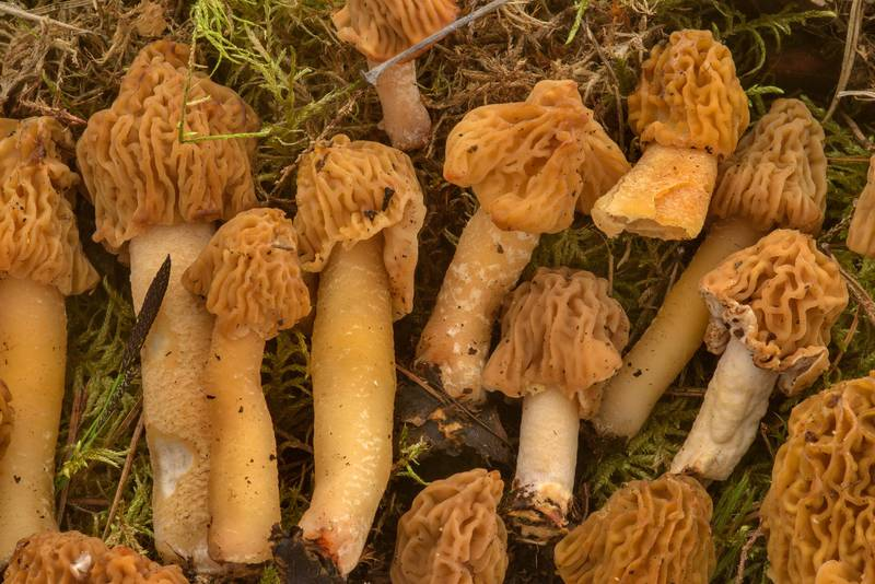 "Masses of wrinkled thimble-cap morel mushrooms (<B>Verpa bohemica</B>) on mushroom show in Botanic Gardens of Komarov Botanical Institute. Saint Petersburg, Russia, <A HREF=""../date-en/2017-05-27.htm"">May 27, 2017</A>"