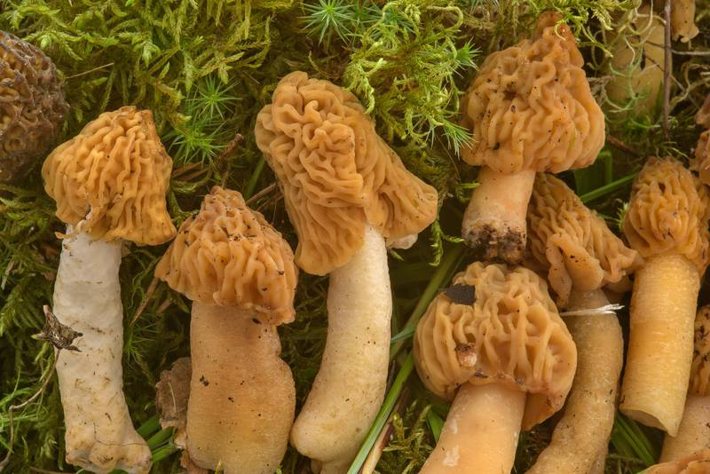 "Wrinkled thimble-cap mushrooms (morels, <B>Verpa bohemica</B>) on mushroom show in Botanic Gardens of Komarov Botanical Institute. Saint Petersburg, Russia, <A HREF=""../date-en/2017-05-27.htm"">May 27, 2017</A>"