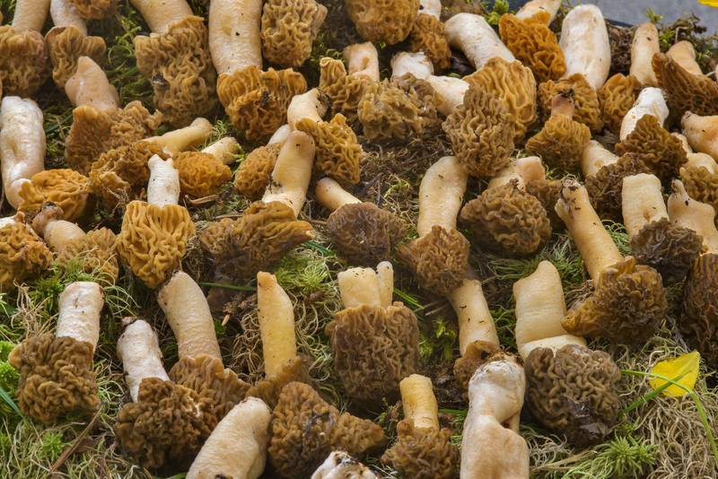 "Large number of wrinkled thimble-cap mushrooms (morels, <B>Verpa bohemica</B>) on mushroom show in Botanic Gardens of Komarov Botanical Institute. Saint Petersburg, Russia, <A HREF=""../date-en/2017-05-27.htm"">May 27, 2017</A>"