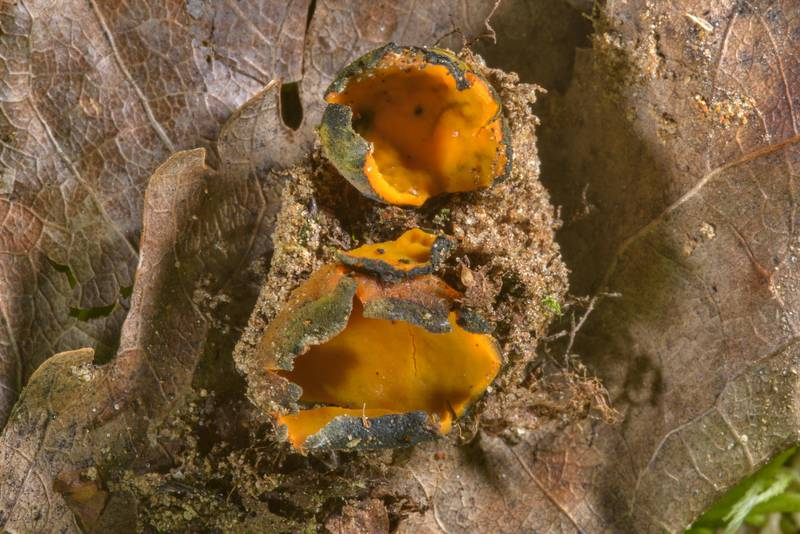Bluish-orange cups of snowbank fungus (Caloscypha fulgens) on mushroom show in Botanic Gardens of Komarov Botanical Institute. Saint Petersburg, Russia, May 27, 2017