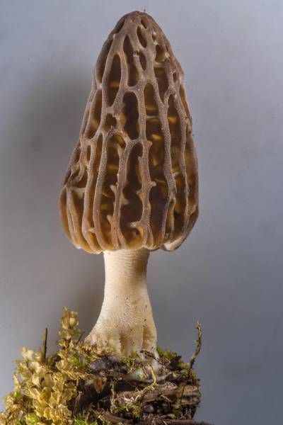 Morel mushroom Morchella esculenta var. conica (Morchella conica) on mushroom show in Botanic Gardens of Komarov Botanical Institute. Saint Petersburg, Russia, May 27, 2017