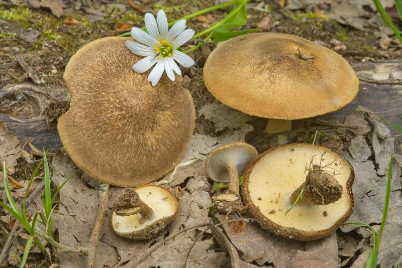"Winter polypore mushrooms (<B>Lentinus brumalis</B>) near Dibuny, north-west from Saint Petersburg, Russia, <A HREF=""../date-en/2017-05-29.htm"">May 29, 2017</A>"