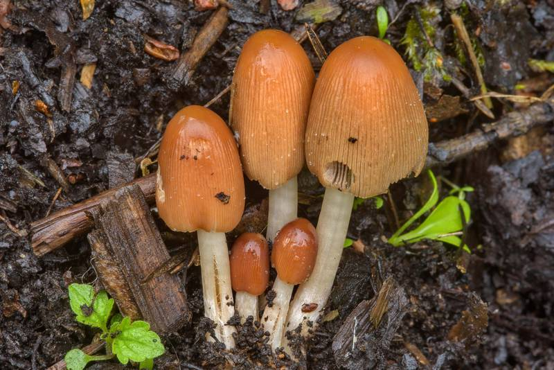 "Young <B>Parasola auricoma</B> mushrooms (Coprinus auricomus) in Sosnovka Park. Saint Petersburg, Russia, <A HREF=""../date-en/2017-05-31.htm"">May 31, 2017</A>"