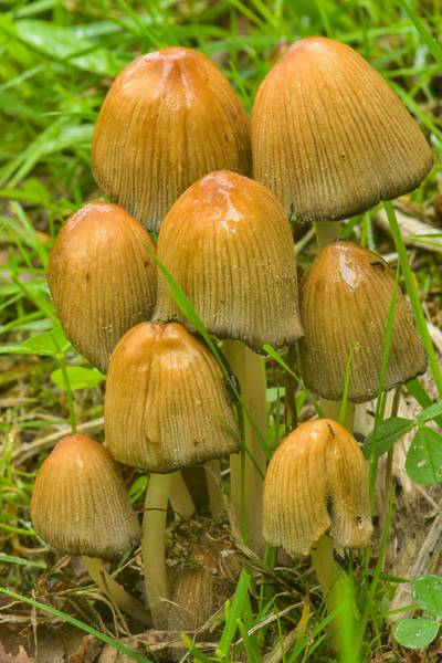 Group of glistening inkcap mushrooms (Coprinellus micaceus) in Sosnovka Park. Saint Petersburg, Russia, June 2, 2017