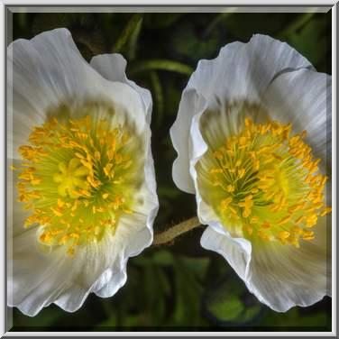 Photo 2059-16: White poppy flowers in Botanic Gardens of Komarov ...