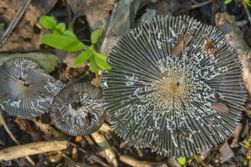 "Caps of hare's foot inkcap mushrooms (<B>Coprinopsis lagopus</B>) in Sosnovka Park. Saint Petersburg, Russia, <A HREF=""../date-ru/2017-06-07.htm"">June 7, 2017</A>"