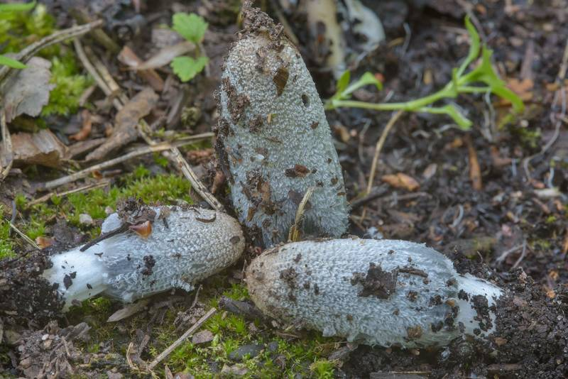"Young hare's foot inkcap mushrooms (<B>Coprinopsis lagopus</B>) in Sosnovka Park. Saint Petersburg, Russia, <A HREF=""../date-ru/2017-06-08.htm"">June 8, 2017</A>"