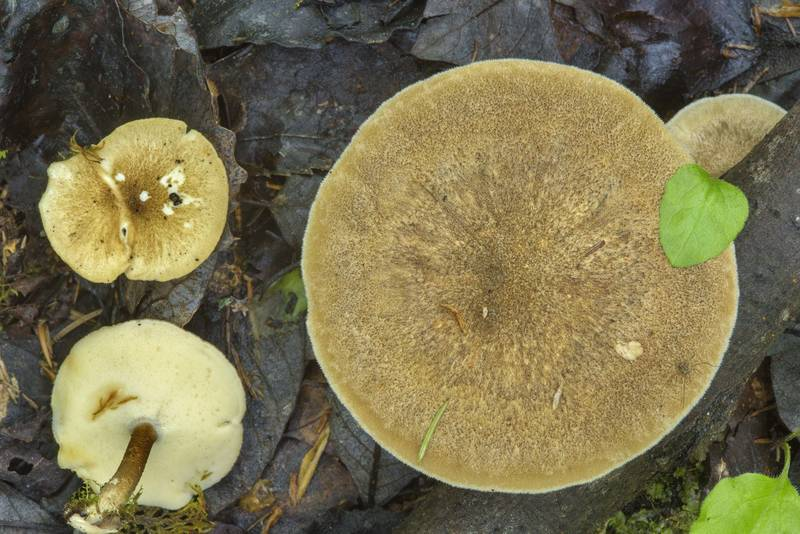 "Winter polypore mushrooms (<B>Lentinus brumalis</B>)(?) on roadside near Kavgolovskoe Lake in Toksovo, suburb of Saint Petersburg. Russia, <A HREF=""../date-en/2017-06-10.htm"">June 10, 2017</A>"
