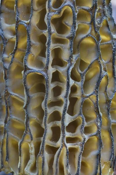 Texture of a cap of a morel mushrooms Morchella esculenta var. conica found in a roadside ditch near Kavgolovskoe Lake in Toksovo, suburb of Saint Petersburg. Russia, June 10, 2017