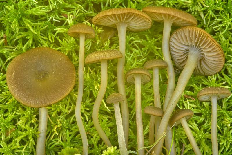 Mushrooms Sphagnurus paluster (Tephrocybe palustris) in sphagnum moss near Kavgolovskoe Lake in area of Toksovo, north from Saint Petersburg, Russia, June 16, 2017