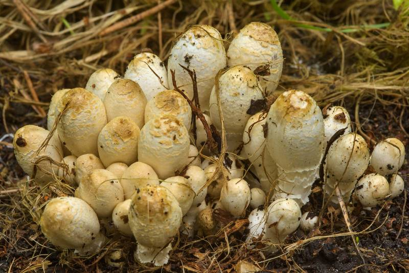 "Cluster of inkcap mushrooms <B>Coprinopsis strossmayeri</B> in Sosnovka Park. Saint Petersburg, Russia, <A HREF=""../date-ru/2017-06-18.htm"">June 18, 2017</A>"