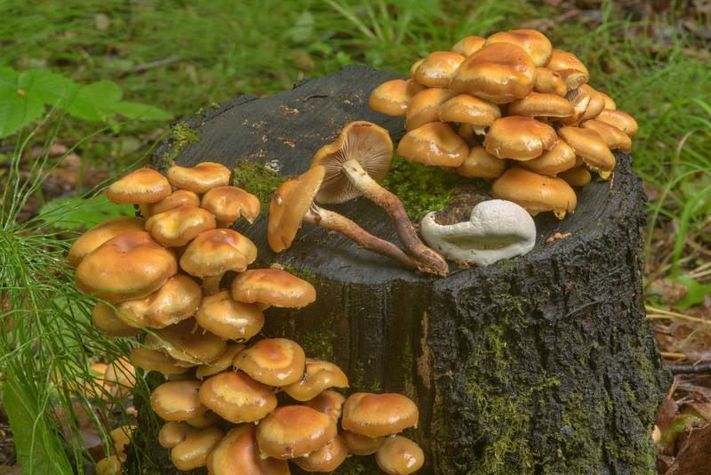 "Sheathed woodtuft mushrooms (<B>Kuehneromyces mutabilis</B>) in Pavlovsk Park. Pavlovsk, a suburb of Saint Petersburg, Russia, <A HREF=""../date-en/2017-06-21.htm"">June 21, 2017</A>"