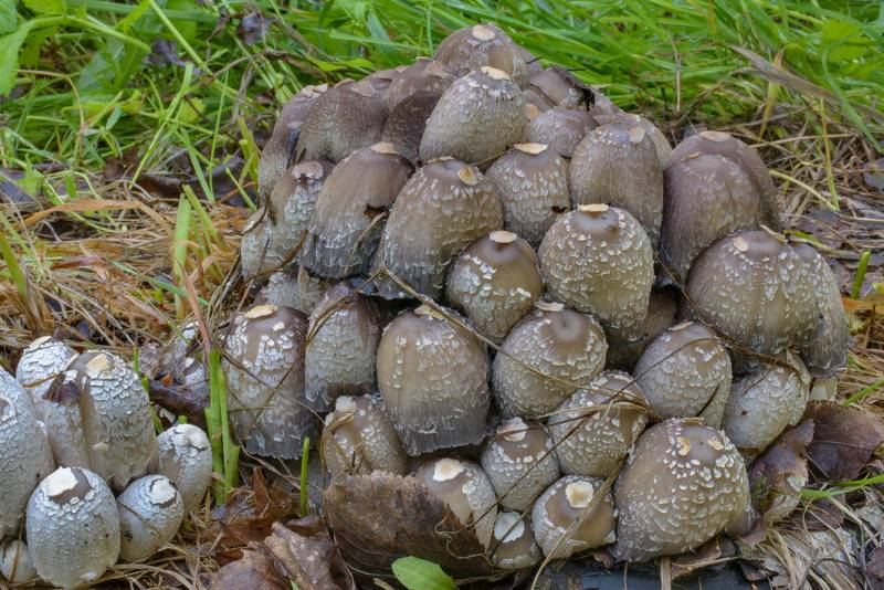 "Inkcap mushrooms <B>Coprinopsis strossmayeri</B> behind Na Privale Restaurant in Sosnovka Park. Saint Petersburg, Russia, <A HREF=""../date-ru/2017-06-22.htm"">June 22, 2017</A>"