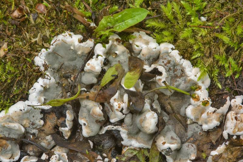 "Brittle cinder fungus (<B>Kretzschmaria deusta</B>) on a tree stump in Smolenskoe Cemetery of Vasilievsliy Island. Saint Petersburg, Russia, <A HREF=""../date-en/2017-06-26.htm"">June 26, 2017</A>"