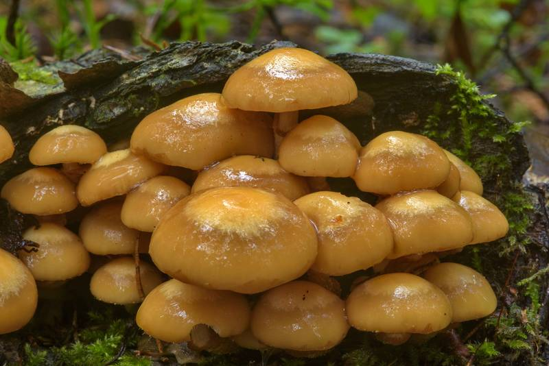 "Sheathed woodtuft mushrooms (<B>Kuehneromyces mutabilis</B>) near Dibuny, west from Saint Petersburg. Russia, <A HREF=""../date-en/2017-06-27.htm"">June 27, 2017</A>"