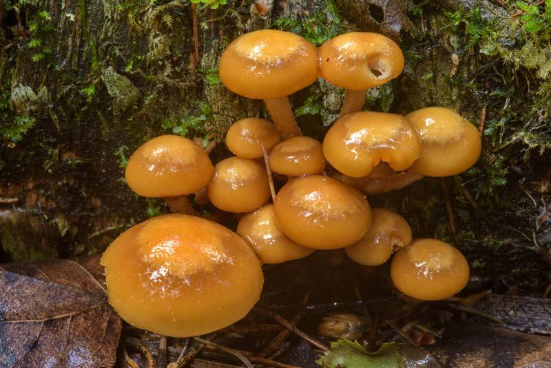 "Cluster of sheathed woodtuft mushrooms (<B>Kuehneromyces mutabilis</B>) near Dibuny, west from Saint Petersburg. Russia, <A HREF=""../date-en/2017-06-27.htm"">June 27, 2017</A>"