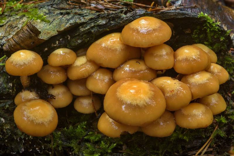 "Young sheathed woodtuft mushrooms (<B>Kuehneromyces mutabilis</B>) near Dibuny, west from Saint Petersburg. Russia, <A HREF=""../date-en/2017-06-27.htm"">June 27, 2017</A>"