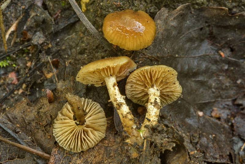 "Winter-fruiting woodland mushrooms (<B>Meottomyces dissimulans</B>) near Dibuny, west from Saint Petersburg. Russia, <A HREF=""../date-en/2017-06-27.htm"">June 27, 2017</A>"