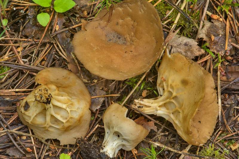 "Cabbage leaf Helvella mushrooms (<B>Helvella acetabulum</B>) on roadside in pine forest near Dibuny, west from Saint Petersburg. Russia, <A HREF=""../date-ru/2017-06-27.htm"">June 27, 2017</A>"