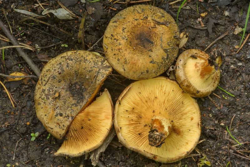 "Brown rollrim mushrooms (<B>Paxillus involutus</B>) near Kavgolovskoe Lake, between Oselki and Toksovo, north from Saint Petersburg. Russia, <A HREF=""../date-ru/2017-06-28.htm"">June 28, 2017</A>"