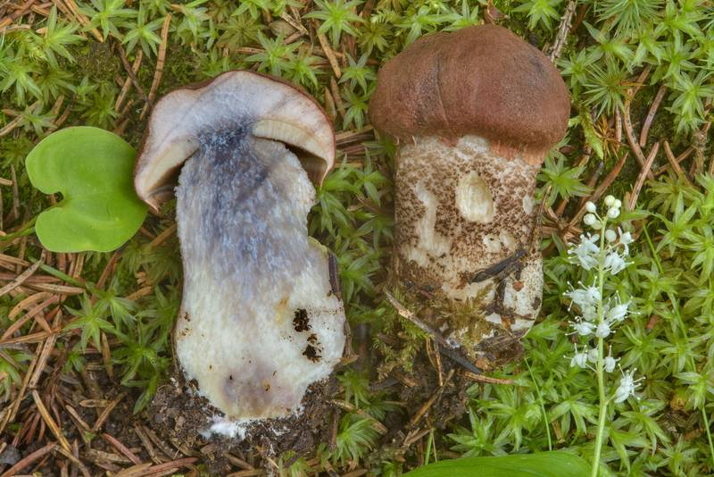 "Foxy bolete (<B>Leccinum vulpinum</B>(?)) in spruce forest near Kavgolovskoe Lake, between Oselki and Toksovo, north from Saint Petersburg. Russia, <A HREF=""../date-en/2017-06-28.htm"">June 28, 2017</A>"