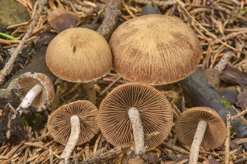"Brittlestem mushrooms <B>Psathyrella pennata</B> on the site of fire in spruce forest near Kavgolovskoe Lake, between Oselki and Toksovo, north from Saint Petersburg. Russia, <A HREF=""../date-ru/2017-06-28.htm"">June 28, 2017</A>"