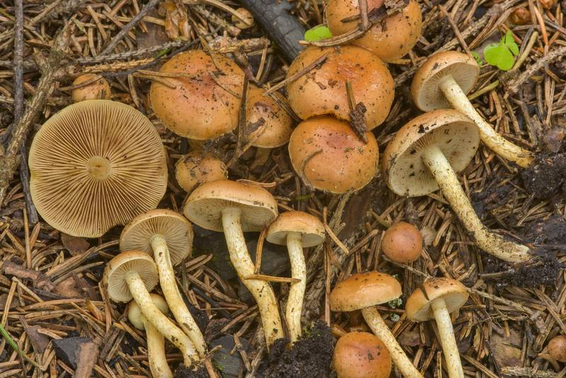 "Bonfire scalycap mushrooms (<B>Pholiota highlandensis</B>) on the site of campfire near Kavgolovskoe Lake, between Oselki and Toksovo, north from Saint Petersburg. Russia, <A HREF=""../date-ru/2017-06-28.htm"">June 28, 2017</A>"