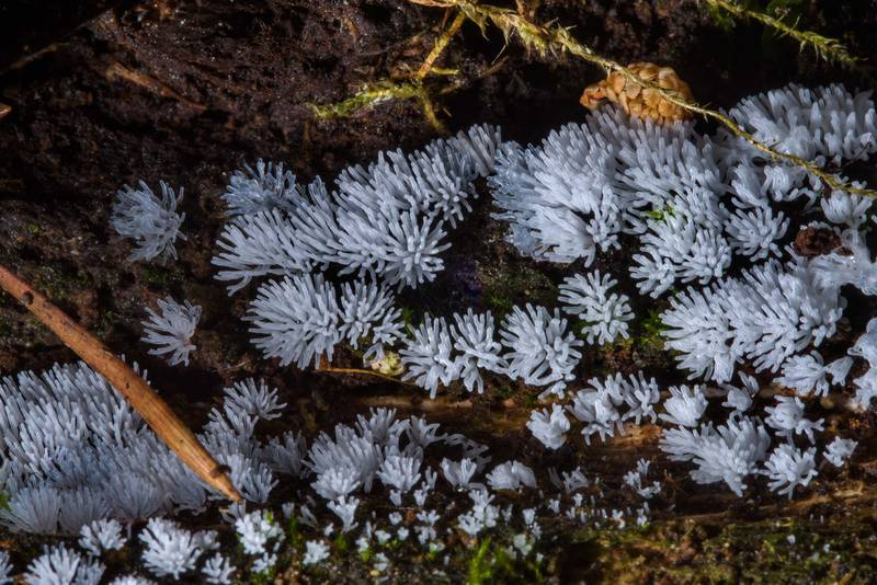 "Coral slime mold (<B>Ceratiomyxa fruticulosa</B>) in Sosnovka Park. Saint Petersburg, Russia, <A HREF=""../date-en/2017-06-30.htm"">June 30, 2017</A>"