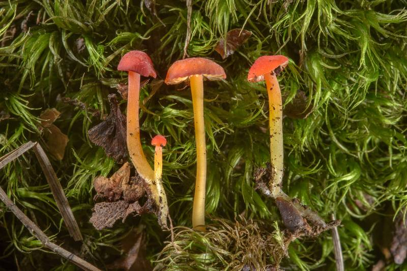 Close up of orange bonnet mushrooms (Mycena acicula) in Sosnovka Park. Saint Petersburg, Russia, June 30, 2017