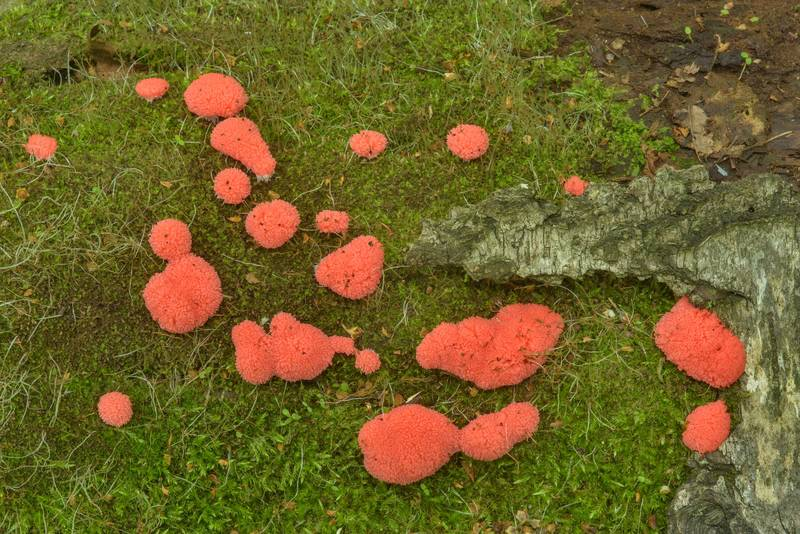 Patches of raspberry slime mold (Tubifera ferruginosa) on a log in Sosnovka Park. Saint Petersburg, Russia, June 30, 2017
